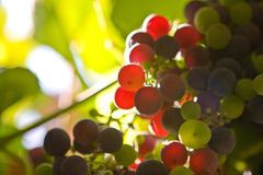 Sun grapes. Grapes ripening in the grapevine in the sun Stock Images