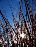 The sun through grass. The evening sun shining through grass stock image
