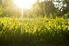 Sun and grass nature background Royalty Free Stock Images