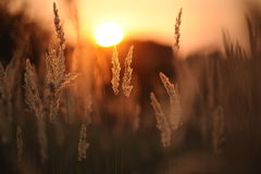 The sun in a grass. In a grass sunset, in the evening, in the summer Royalty Free Stock Images