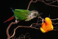 Sun and Green Cheek Conures Playing. 2 Conures Playing on a Branch royalty free stock photos