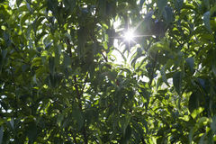 Sun through green foliage shining background Royalty Free Stock Images