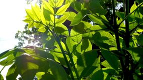 Sun and green leaves. Green leaves in front of sky and sunshine. Sun rays in green leaves of trees. Sun and green leaves. Green leaves in front of sky and stock video