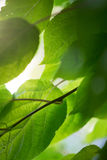 The sun through the green leaves. Tree with leaves, spring Stock Photos