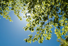Sun and green leaves of the tree. Rays of the sun through the leaves of the tree Royalty Free Stock Images
