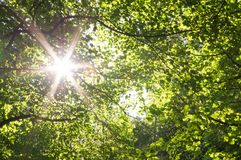 Sun gwiazda przez lasu baldachimu zdjęcie stock