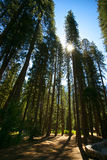 Sun ha scoppiato attraverso gli alberi di pino Immagini Stock Libere da Diritti