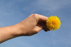 Sun in hand. Blowball in hand against sky like sun royalty free stock photos