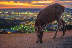 Deer in Nara, Japan, at night royalty free stock photography