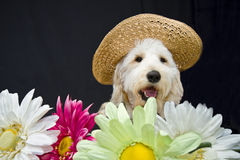 Sun Hat Doggie Royalty Free Stock Photos