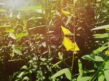 Sun hemp flower. Artificial light was added for summer and warm. Sun hemp flower. Artificial light was added for summer and warm feeling stock photography