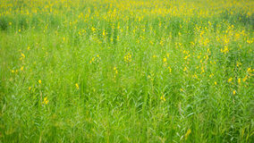 Sun Hemp flower field Royalty Free Stock Images