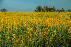 Sun hemp flowers field Royalty Free Stock Images