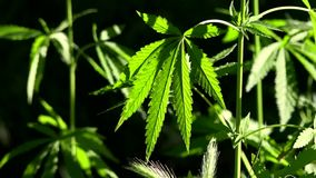 A green, large sheet of cannabis.The backlit, evening light hemp leaves. In the sun, hemp is swaying.Forest thickets.Forest hygrophilous and shade-tolerant stock video