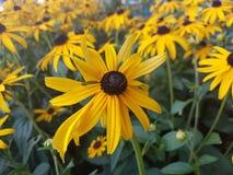 Sun hermoso florece en la estación de verano en casa, jardines y parques foto de archivo libre de regalías
