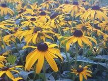Sun hermoso florece en la estación de verano en casa, jardines y parques imágenes de archivo libres de regalías