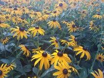 Sun hermoso florece en la estación de verano en casa, jardines y parques foto de archivo