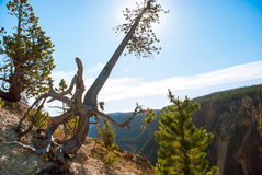 Sun hiding behind a pine tree growing on the crest of the Grand Canyon of the Yellowstone Royalty Free Stock Photos