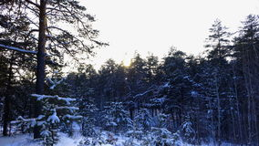 Sun is hiding behind the trees. Beautiful winter forest. Pine trees covered with snow. Windless weather. Sunny winter day. Time la stock footage