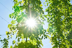Sun through Hop Branch Royalty Free Stock Photo