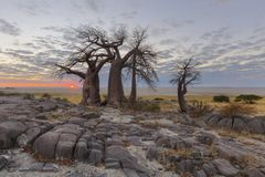 Sun on the horison at the baobabs. Kubu Island Botswana Royalty Free Stock Photos