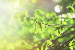Sun illuminate spring leaves Royalty Free Stock Images