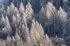 Sun illuminated pine trees covered in snow after storm royalty free stock photos