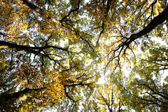 Sun-illuminated top of golden-leaved trees Royalty Free Stock Photos