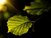 Sunrise in the park. Golden hour light illuminating young summer leaves. stock image