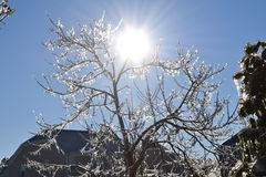 Sun illuminats beautiful icicle covered tree. January 2016 snow storm in east coast caused Icicles to cover everything.  Mother nature spread scenic beauty Royalty Free Stock Photo