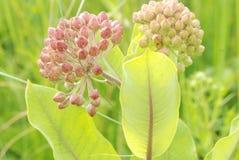 Sun iluminou o crescimento de flores do Milkweed em um prado Imagem de Stock