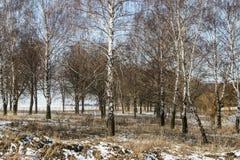 Sun im schneebedeckten Birkenwald stockbild