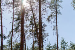 The Sun im Wald Stockfoto