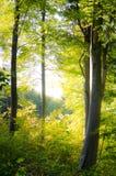 Sun im Wald Lizenzfreie Stockfotos