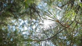 Sun incandesce através da floresta do pinho filme