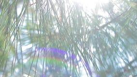 Sun incandesce através da floresta do pinho vídeos de arquivo