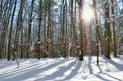 Sun irradia através das árvores na floresta do inverno Fotografia de Stock Royalty Free