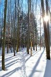 Sun irradia através das árvores na floresta do inverno Fotos de Stock Royalty Free