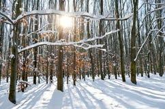 Sun irradia através das árvores na floresta do inverno Imagens de Stock Royalty Free