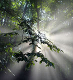 Sun irradia através das folhas em uma floresta da faia Foto de Stock