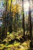 Sun irradia do sol brilhante que brilha entre as árvores da floresta verde com a grama verde dos arbustos da samambaia Imagem de Stock
