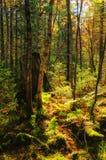 Sun irradia do sol brilhante que brilha entre as árvores da floresta verde com a grama verde dos arbustos da samambaia Foto de Stock