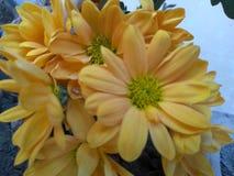 Sun küsste herrliche gelbe Blumen Stockbilder