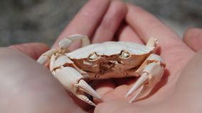 Sun kissed. Sun bleached crab on the shore royalty free stock photo