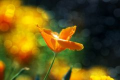 Sun Kissed. Close-up of orange flower on green stem with sunshine glinting off of the flower Stock Photos