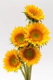 Sun kwiat Zdjęcie Stock