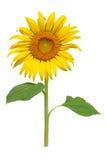 Sun kwiatu kwitnienie Zdjęcie Royalty Free