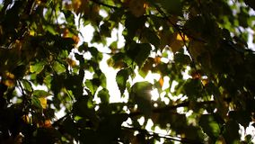 The sun through the leaves, autumn, green and yellow leaves. Close-up stock footage