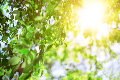 Sun and leaves. Green leaves on a background of blue sky and sun Stock Photo