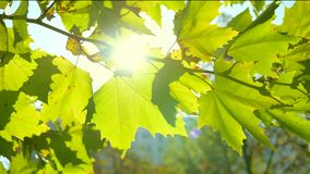 Sun and Leaves in 4K stock footage